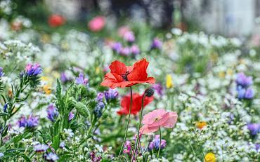 Lezing: Aanleg en beheer van een bloemenweide